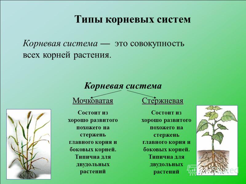 Корневая система Мочковатая Состоит из хорошо развитого похожего на стержень главного корня и боковых корней. Типична для двудольных растенийСтержневая Типы корневых систем Корневая система это совокупность всех корней растения. Состоит из хорошо раз