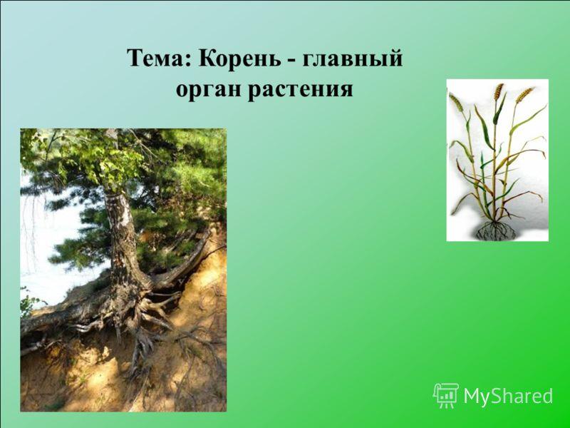 Тема: Корень - главный орган растения