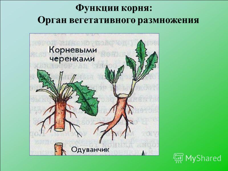 Функции корня: Орган вегетативного размножения