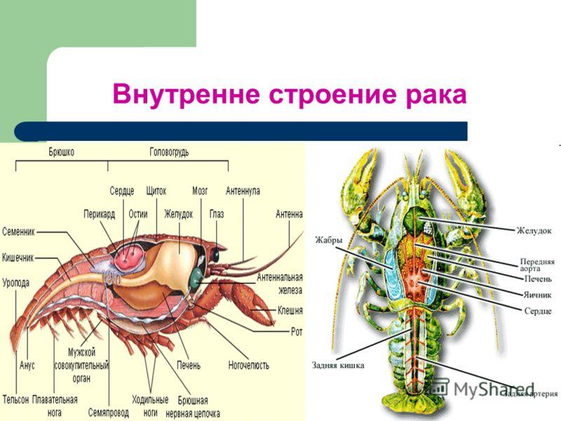 Внутренне строение рака
