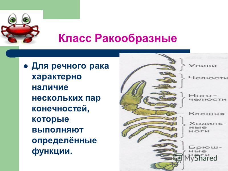 Класс Ракообразные Для речного рака характерно наличие нескольких пар конечностей, которые выполняют определённые функции.