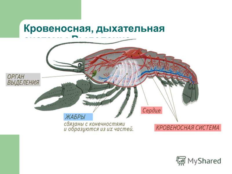 Кровеносная, дыхательная системы.Выделение