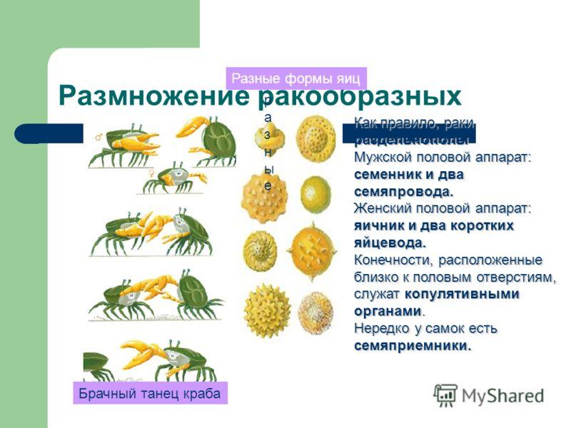 Размножение ракообразных Брачный танец краба Как правило, раки раздельнополы Мужской половой аппарат: семенник и два семяпровода. Женский половой аппарат: яичник и два коротких яйцевода. Конечности, расположенные близко к половым отверстиям, служат к