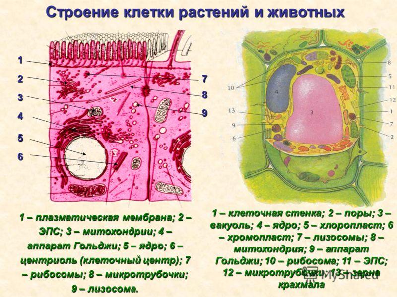 Строение клетки растений и животных 1 2 3 4 5 6 1 – плазматическая мембрана; 2 – ЭПС; 3 – митохондрии; 4 – аппарат Гольджи; 5 – ядро; 6 – центриоль (клеточный центр); 7 – рибосомы; 8 – микротрубочки; 9 – лизосома. 1 – клеточная стенка; 2 – поры; 3 –