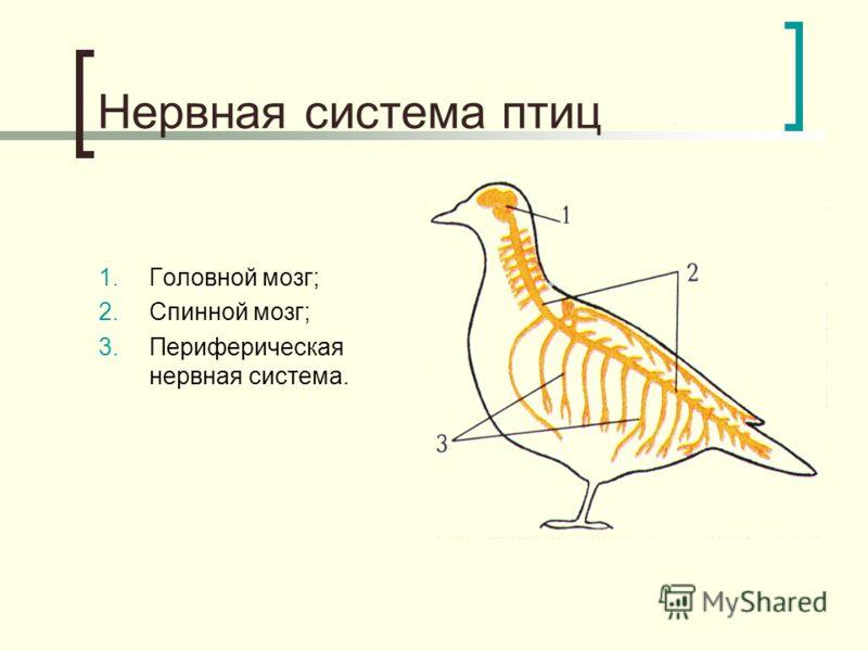 Нервная система птиц 1.Головной мозг; 2.Спинной мозг; 3.Периферическая нервная система.
