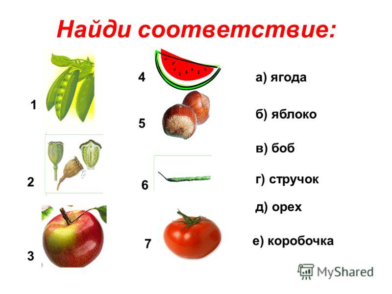 Найди соответствие: 1 2 3 4 5 6 7 а) ягода б) яблоко в) боб г) стручок д) орех е) коробочка