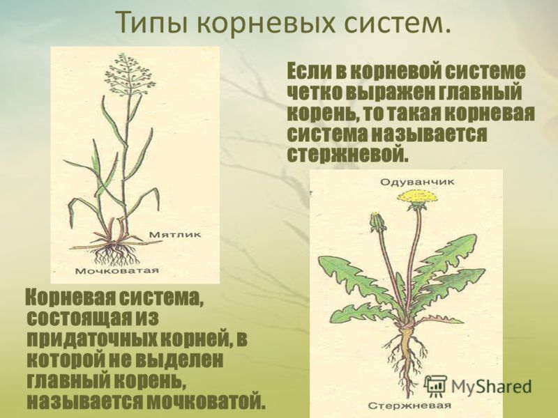 Типы корневых систем. Корневая система, состоящая из придаточных корней, в которой не выделен главный корень, называется мочковатой. Если в корневой системе четко выражен главный корень, то такая корневая система называется стержневой.