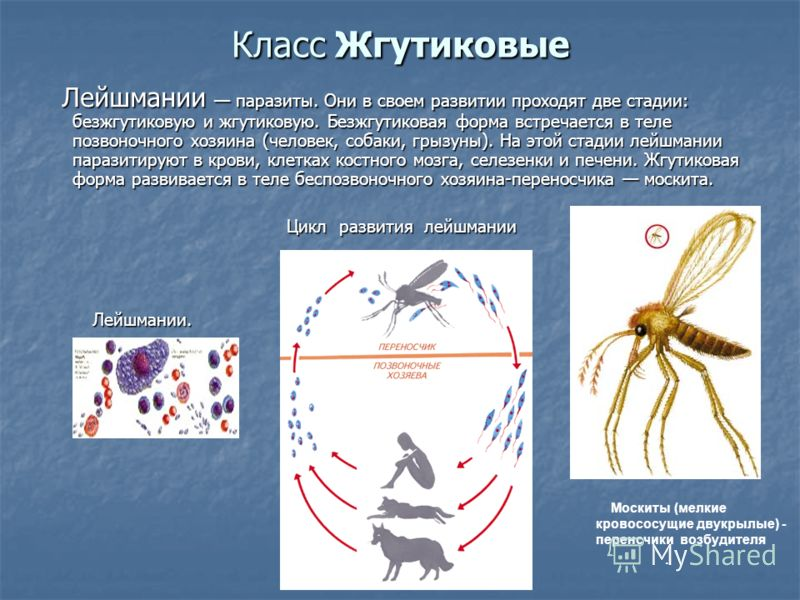 Класс Жгутиковые Лейшмании паразиты. Они в своем развитии проходят две стадии: безжгутиковую и жгутиковую. Безжгутиковая форма встречается в теле позвоночного хозяина (человек, собаки, грызуны). На этой стадии лейшмании паразитируют в крови, клетках