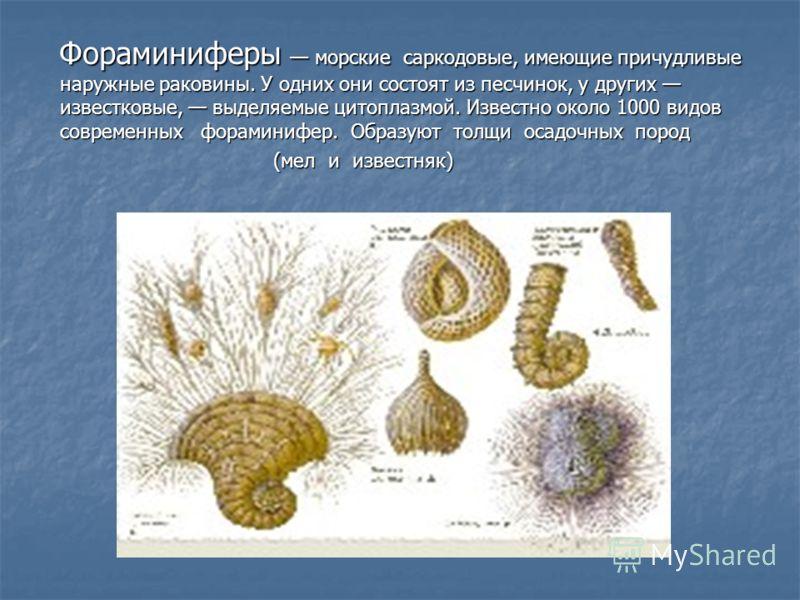 Фораминиферы морские саркодовые, имеющие причудливые наружные раковины. У одних они состоят из песчинок, у других известковые, выделяемые цитоплазмой. Известно около 1000 видов современных фораминифер. Образуют толщи осадочных пород Фораминиферы морс