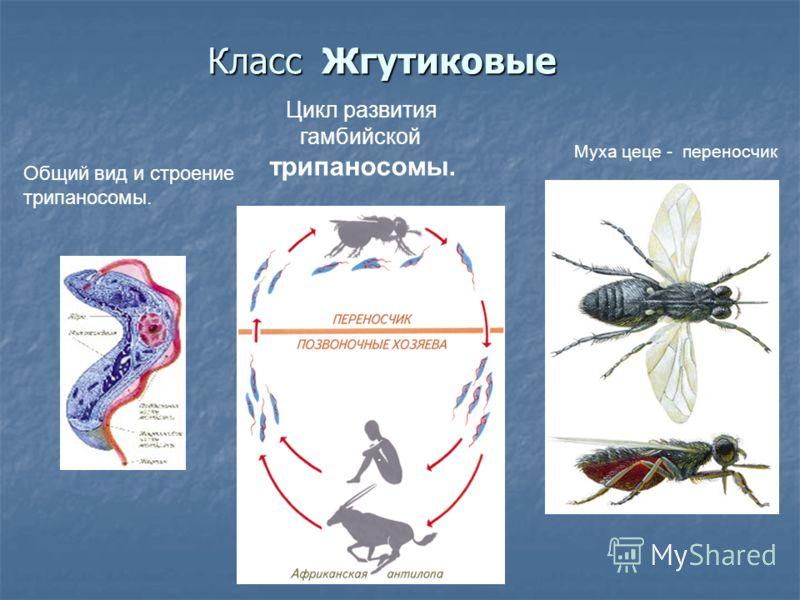 Класс Жгутиковые. Цикл развития гамбийской трипаносомы.. Муха цеце - переносчик Общий вид и строение трипаносомы.