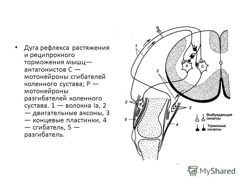 Дуга рефлекса растяжения и реципрокного торможения мышц антагонистов С мотонейроны сгибателей коленного сустава; Р мотонейроны разгибателей коленного сустава. 1 волокна Iа, 2 двигательные аксоны, 3 концевые пластинки, 4 сгибатель, 5 разгибатель.