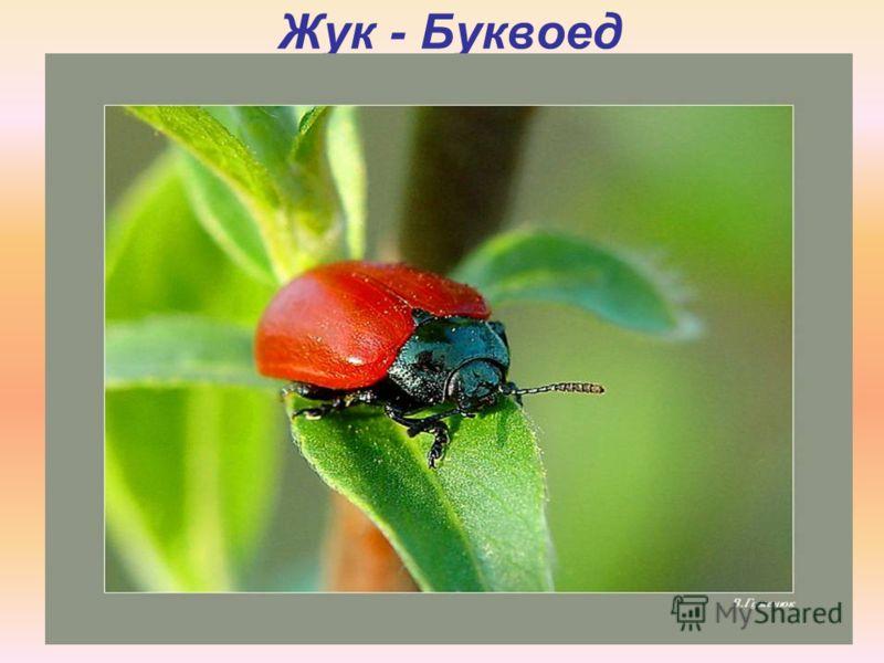 Жук - Буквоед