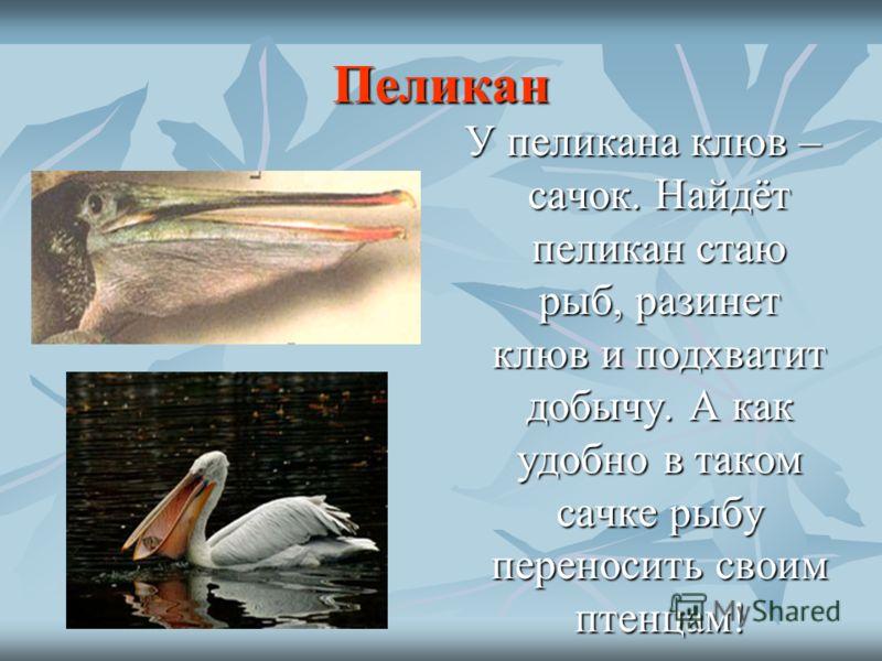 Пеликан У пеликана клюв – сачок. Найдёт пеликан стаю рыб, разинет клюв и подхватит добычу. А как удобно в таком сачке рыбу переносить своим птенцам!