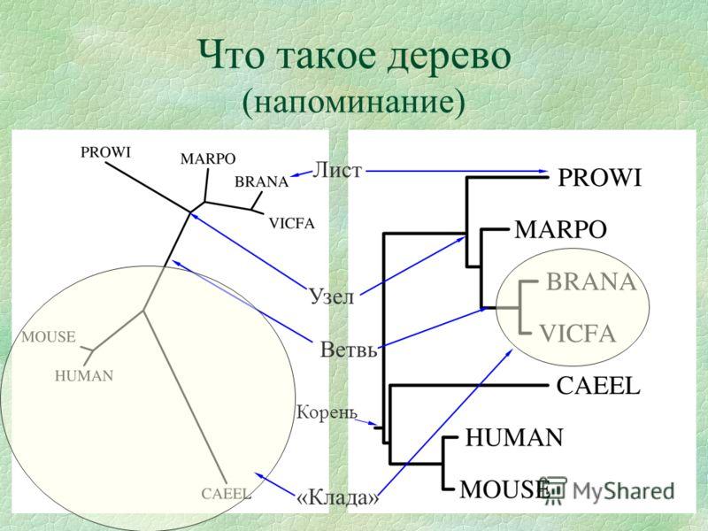 Что такое дерево (напоминание) Корень Ветвь Узел Лист «Клада»