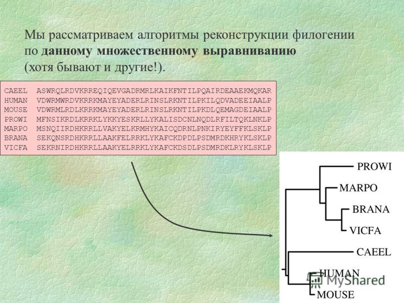 Мы рассматриваем алгоритмы реконструкции филогении по данному множественному выравниванию (хотя бывают и другие!). CAEEL ASWRQLRDVKRREQIQEVGADRMRLKAIKFNTILPQAIRDEAAEKMQKAR HUMAN VDWRMWRDVKRRKMAYEYADERLRINSLRKNTILPKILQDVADEEIAALP MOUSE VDWRMLRDLKRRKMA