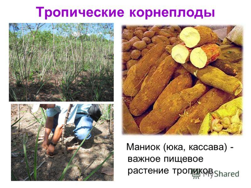 Тропические корнеплоды Маниок (юка, кассава) - важное пищевое растение тропиков