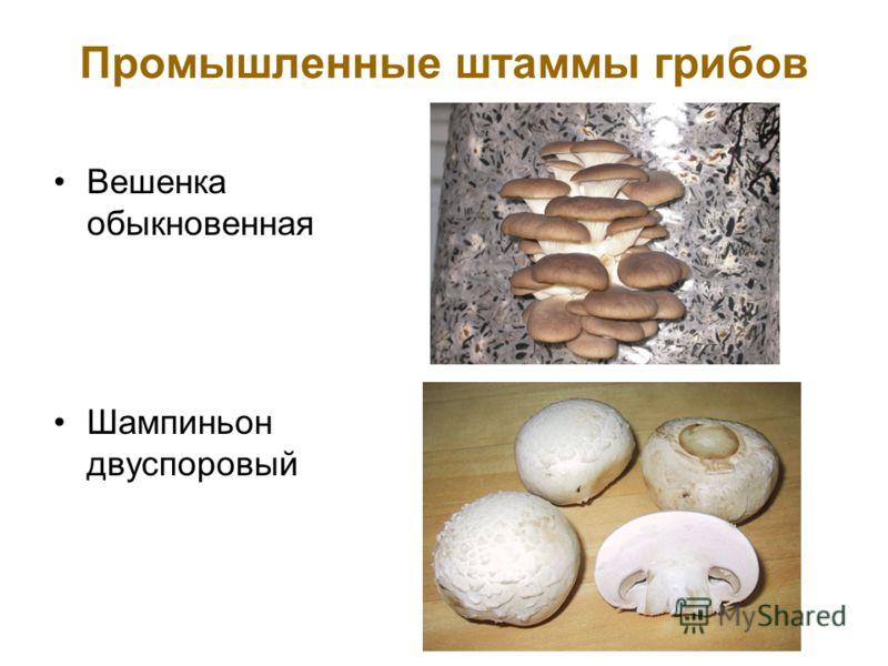Промышленные штаммы грибов Вешенка обыкновенная Шампиньон двуспоровый