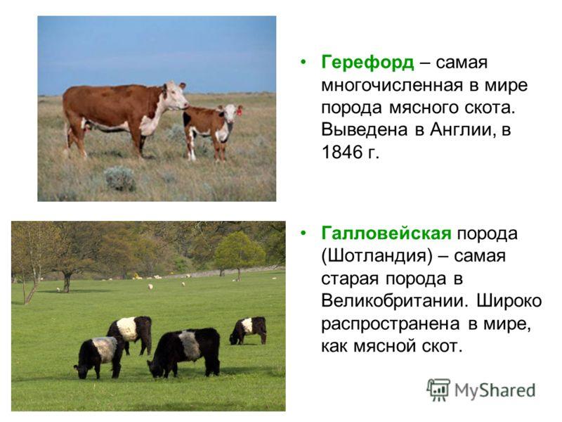 Герефорд – самая многочисленная в мире порода мясного скота. Выведена в Англии, в 1846 г. Галловейская порода (Шотландия) – самая старая порода в Великобритании. Широко распространена в мире, как мясной скот.