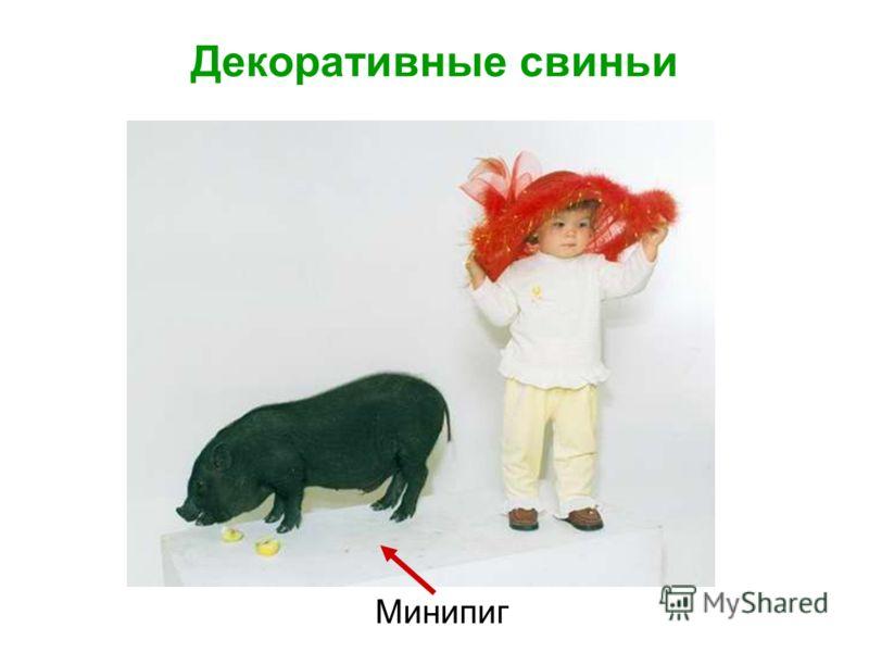 Декоративные свиньи Минипиг