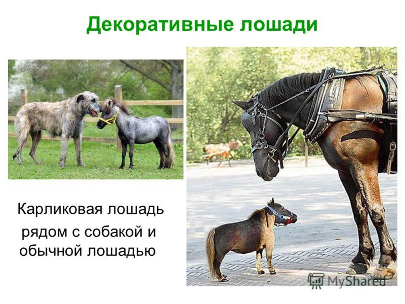 Декоративные лошади Карликовая лошадь рядом с собакой и обычной лошадью