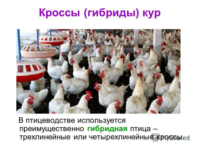 Кроссы (гибриды) кур В птицеводстве используется преимущественно гибридная птица – трехлинейные или четырехлинейные кроссы.