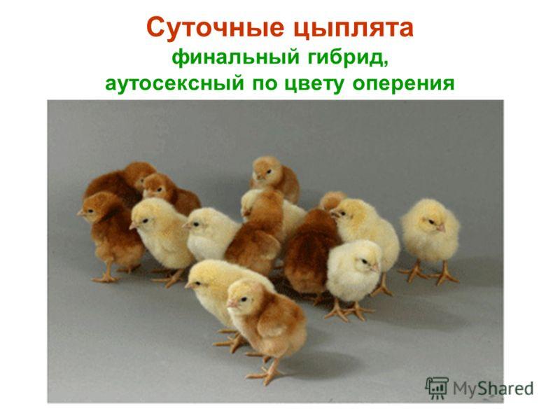 Суточные цыплята финальный гибрид, аутосексный по цвету оперения