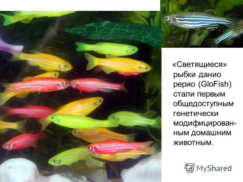«Светящиеся» рыбки данио рерио (GloFish) стали первым общедоступным генетически модифицирован- ным домашним животным.