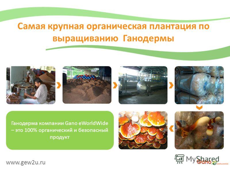 www.gew2u.ru Самая крупная органическая плантация по выращиванию Ганодермы Ганодерма компании Gano eWorldWide – это 100% органический и безопасный продукт