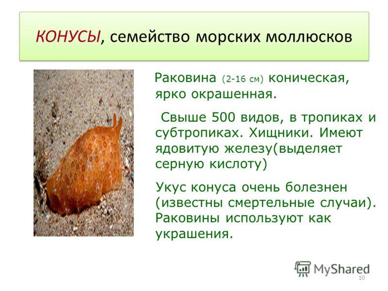 10 КОНУСЫ, семейство морских моллюсков Раковина (2-16 см) коническая, ярко окрашенная. Свыше 500 видов, в тропиках и субтропиках. Хищники. Имеют ядовитую железу(выделяет серную кислоту) Укус конуса очень болезнен (известны смертельные случаи). Ракови