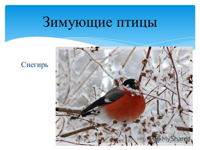 Снегирь Зимующие птицы