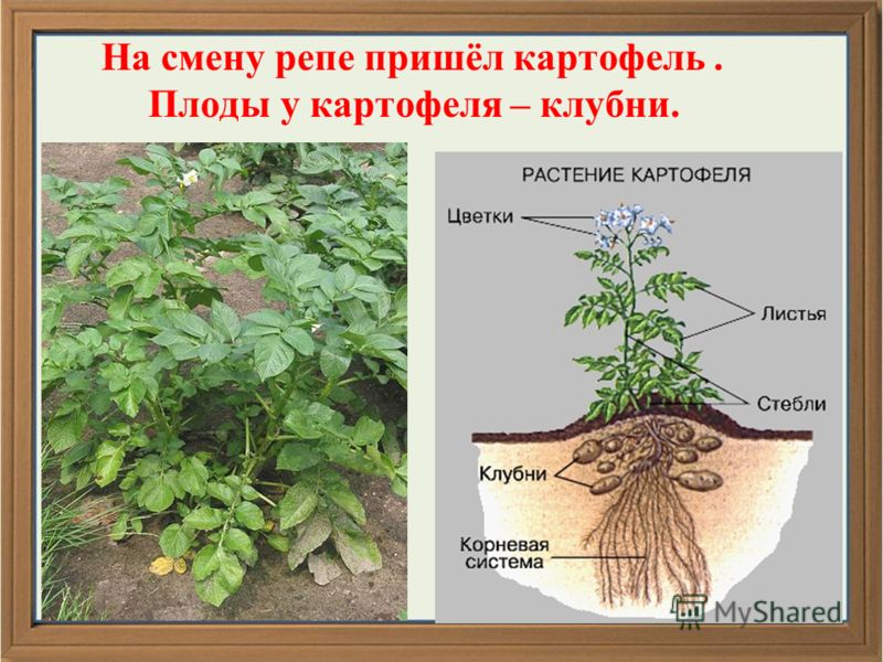 На смену репе пришёл картофель. Плоды у картофеля – клубни.