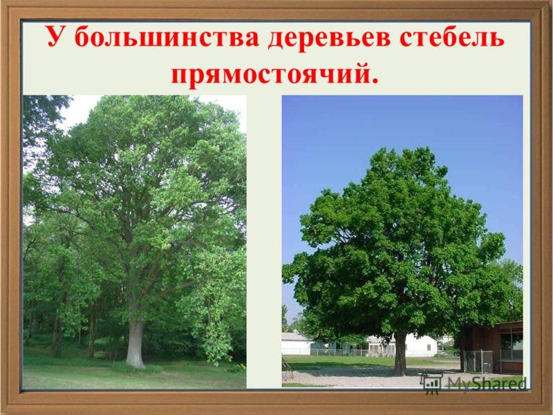У большинства деревьев стебель прямостоячий.