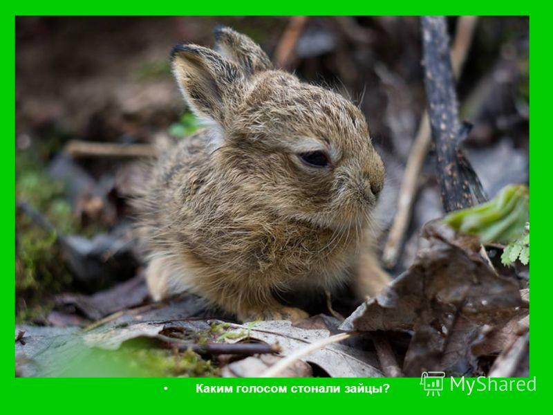 Каким голосом стонали зайцы?