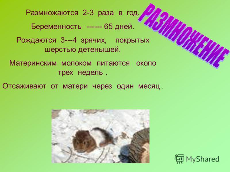 Размножаются 2-3 раза в год. Беременность ------ 65 дней. Рождаются 3---4 зрячих, покрытых шерстью детенышей. Материнским молоком питаются около трех недель. Отсаживают от матери через один месяц.