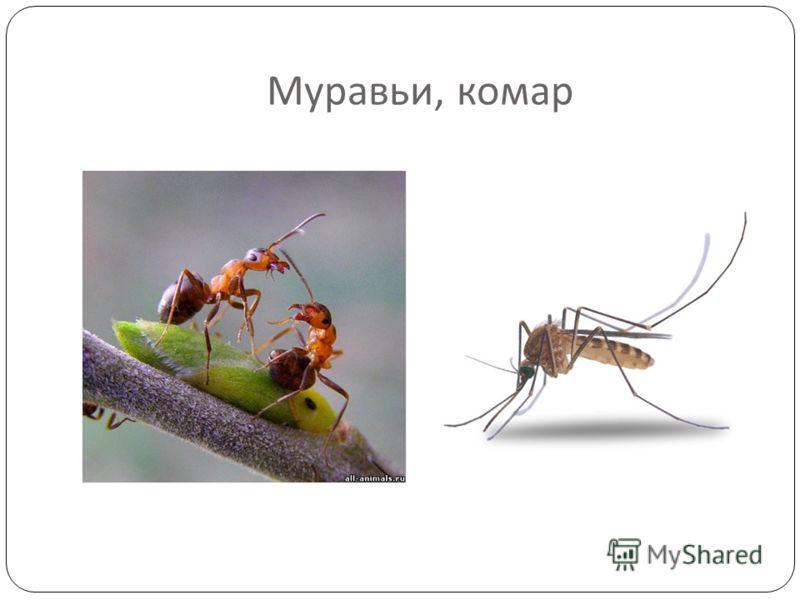 Муравьи, комар