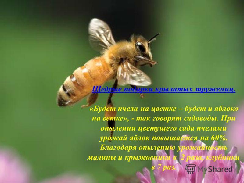 Щедрые подарки крылатых тружениц. «Будет пчела на цветке – будет и яблоко на ветке», - так говорят садоводы. При опылении цветущего сада пчелами урожай яблок повышается на 60%. Благодаря опылению урожайность малины и крыжовника в 2 раза, клубники в 7