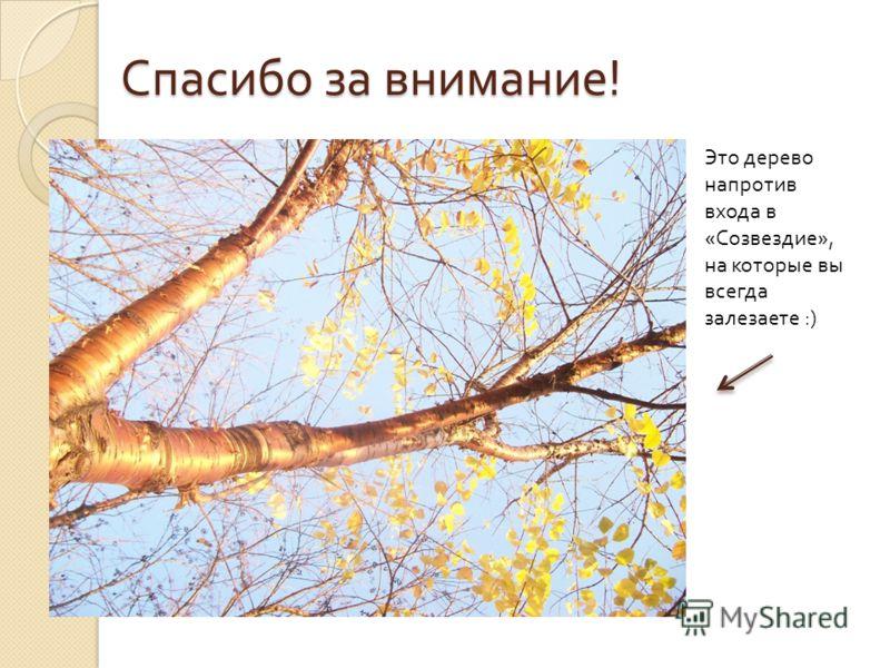 Спасибо за внимание ! Это дерево напротив входа в «Созвездие», на которые вы всегда залезаете :)