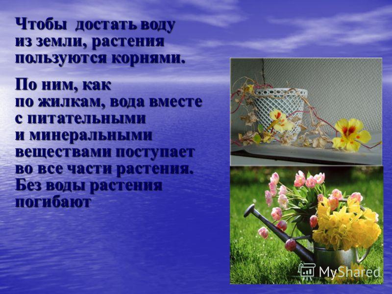 Чтобы достать воду из земли, растения пользуются корнями. По ним, как по жилкам, вода вместе с питательными и минеральными веществами поступает во все части растения. Без воды растения погибают