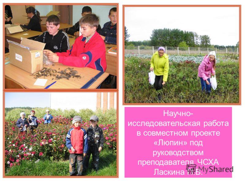 Научно- исследовательская работа в совместном проекте «Люпин» под руководством преподавателя ЧСХА Ласкина П.В.