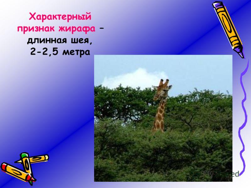 Характерный признак жирафа – длинная шея, 2-2,5 метра
