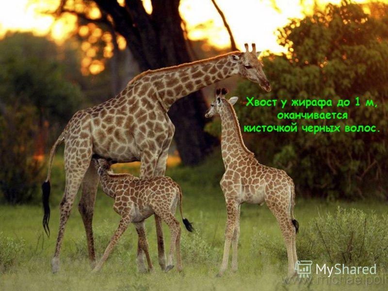 Хвост у жирафа до 1 м, оканчивается кисточкой черных волос.