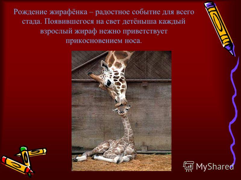 Рождение жирафёнка – радостное событие для всего стада. Появившегося на свет детёныша каждый взрослый жираф нежно приветствует прикосновением носа.