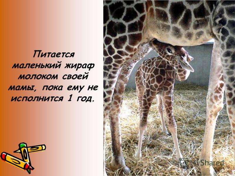 Питается маленький жираф молоком своей мамы, пока ему не исполнится 1 год.