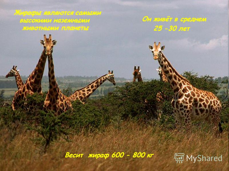 Жирафы являются самыми высокими наземными животными планеты Он живёт в среднем 25 -30 лет Весит жираф 600 - 800 кг