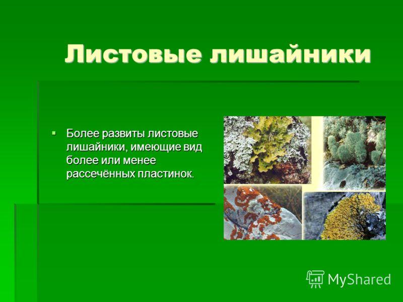 Листовые лишайники Более pазвиты листовые лишайники, имеющие вид более или менее pассечённых пластинок. Более pазвиты листовые лишайники, имеющие вид более или менее pассечённых пластинок.