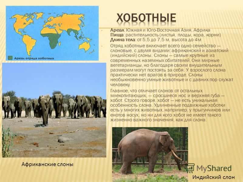 Ареал: Южная и Юго-Восточная Азия, Африка Пища: растительность (листья, плоды, кора, корни) Длина тела: от 5,5 до 7,5 м, высота до 4м Отряд хоботные включает всего одно семейство слоновые, с двумя видами: африканский и азиатский (индийский) слоны. Сл