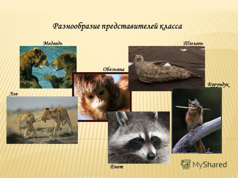 Разнообразие представителей класса Обезьяна Тюлень Лев Енот Бурундук Медведь