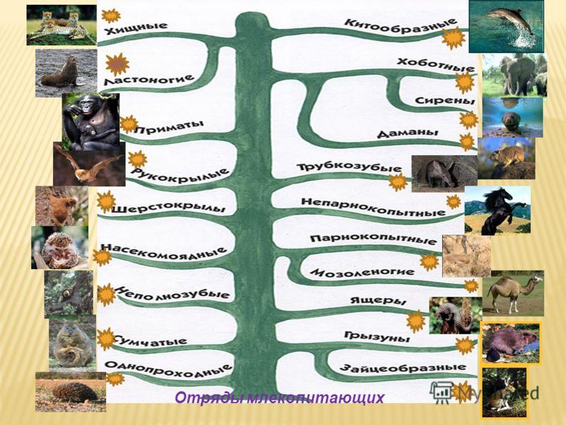 Отряды млекопитающих