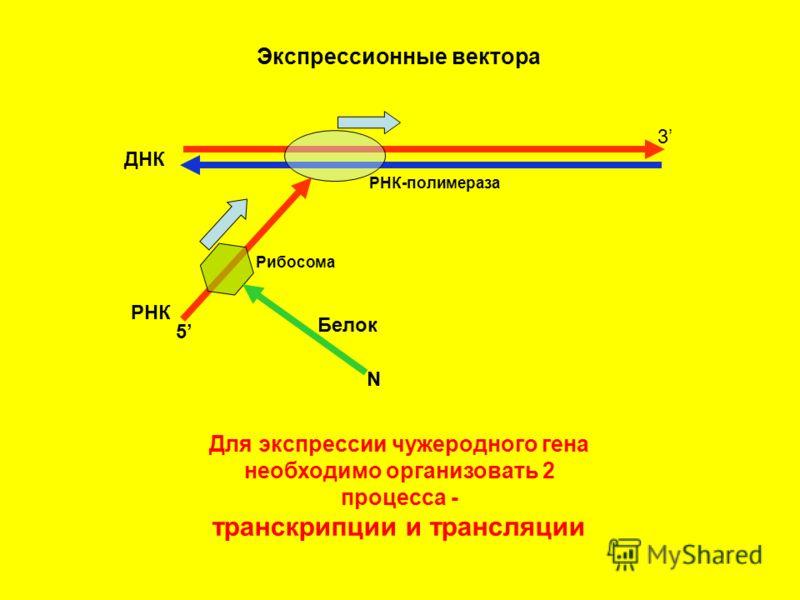 Экспрессионные вектора ДНК 3 РНК-полимераза РНК 5 Рибосома N Белок Для экспрессии чужеродного гена необходимо организовать 2 процесса - транскрипции и трансляции