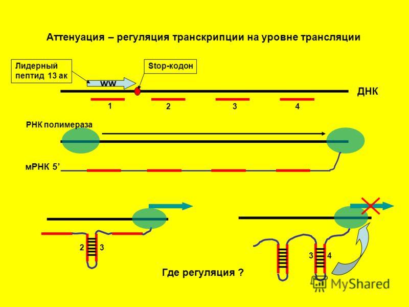 Аттенуация – регуляция транскрипции на уровне трансляции ww Лидерный пептид 13 ак Stop-кодон 1 2 34 ДНК мРНК 5 2 3 34 Где регуляция ? РНК полимераза